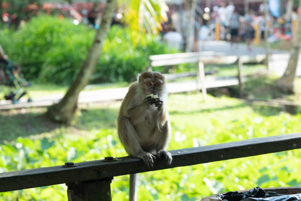 Macaque, Sarawak Cultural Village, Rainforest World Music Festival 2019, Kuching, Malaysia