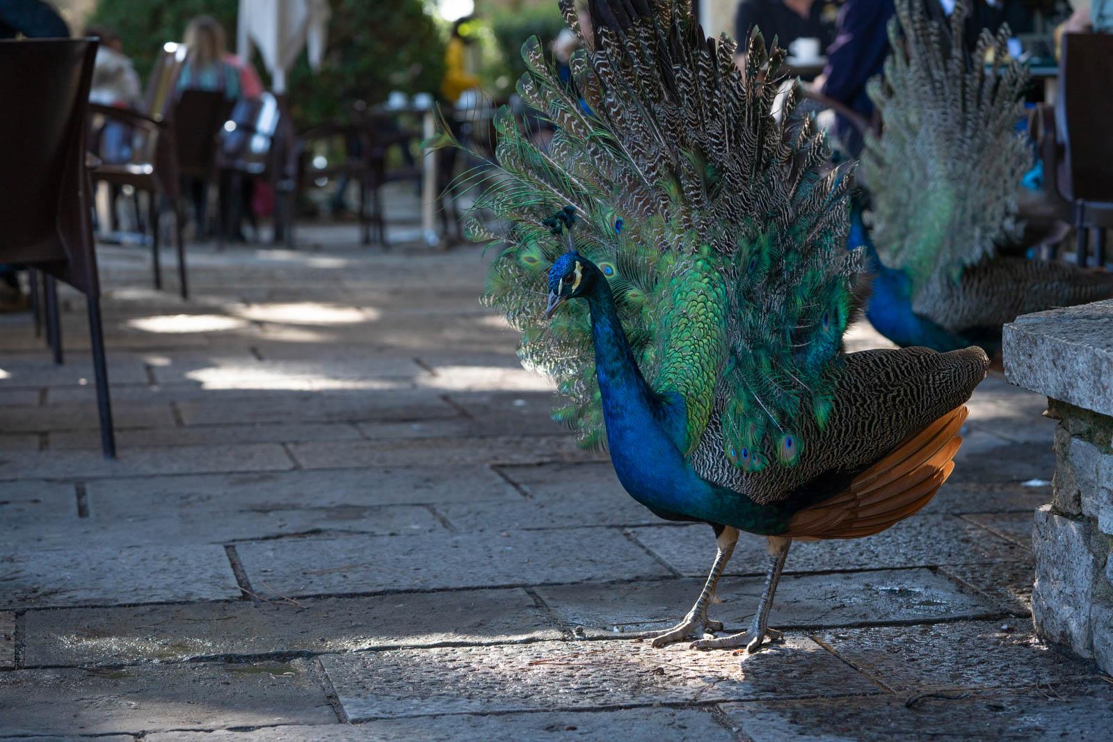 peacocks, Jardim da Praça do Império, Lisbon