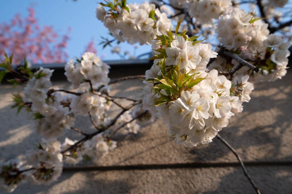Cherry blossoms, Arashiyama, Kyoto