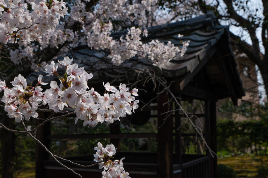 Cherry blossoms, Seiryo-ji Temple, Kyoto