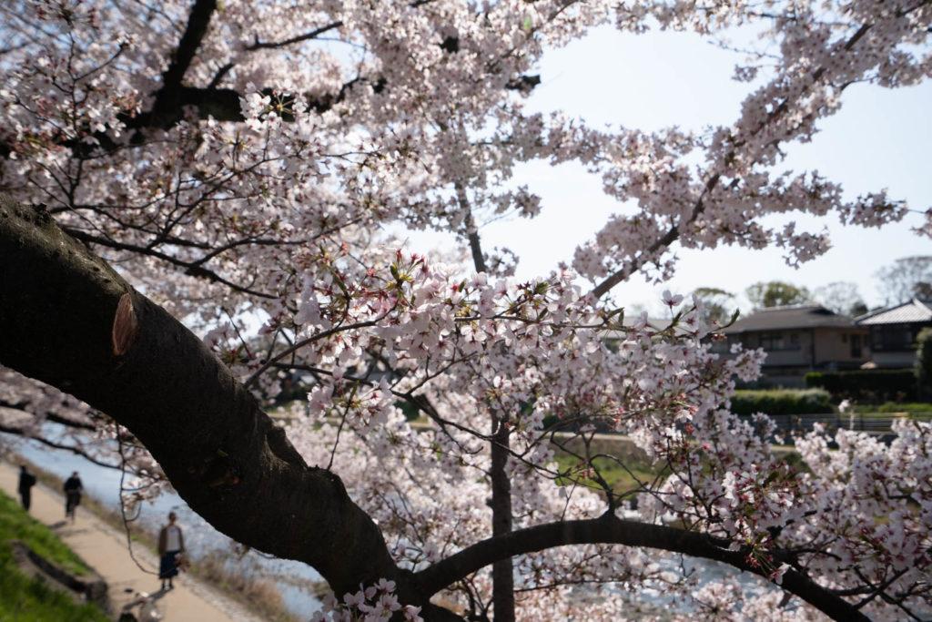 Cherry blossoms, Kamo River, Kyoto