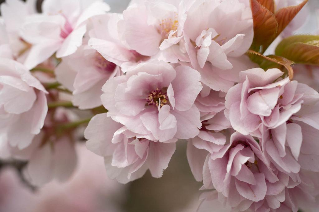 Cherry blossom, Nijō Castle, Kyoto
