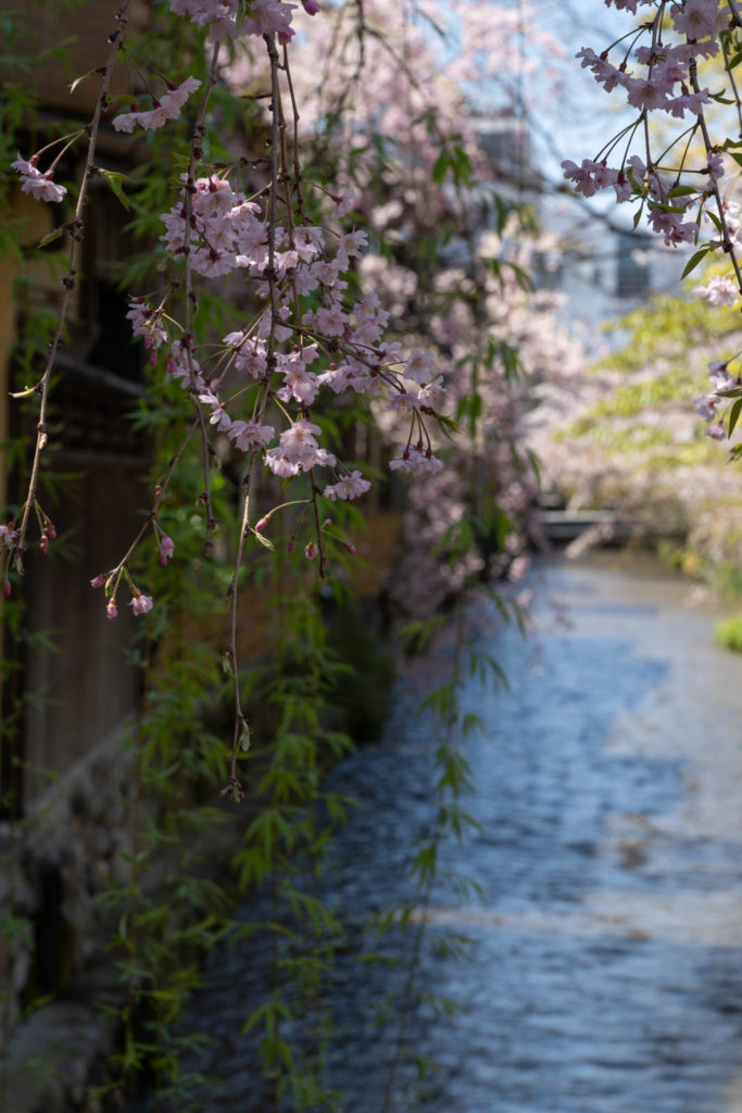 Cherry blossom, Ganto district, Kyoto