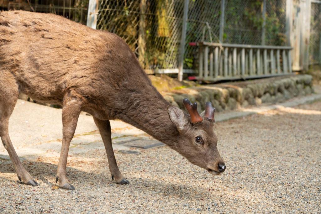 deer, Nara Park, Japan