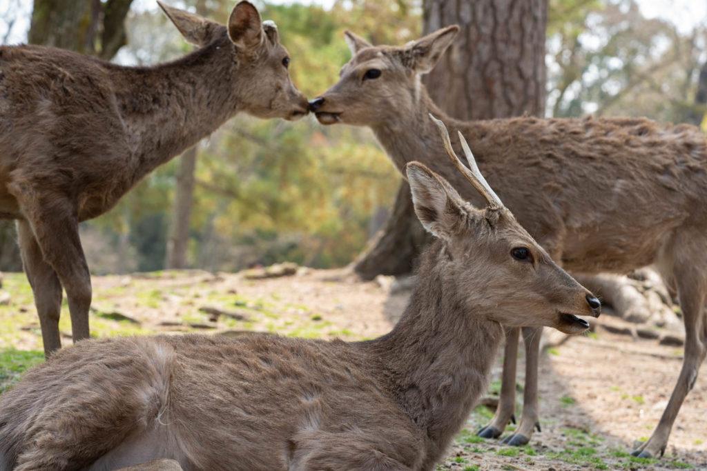 deers, Nara, Japan