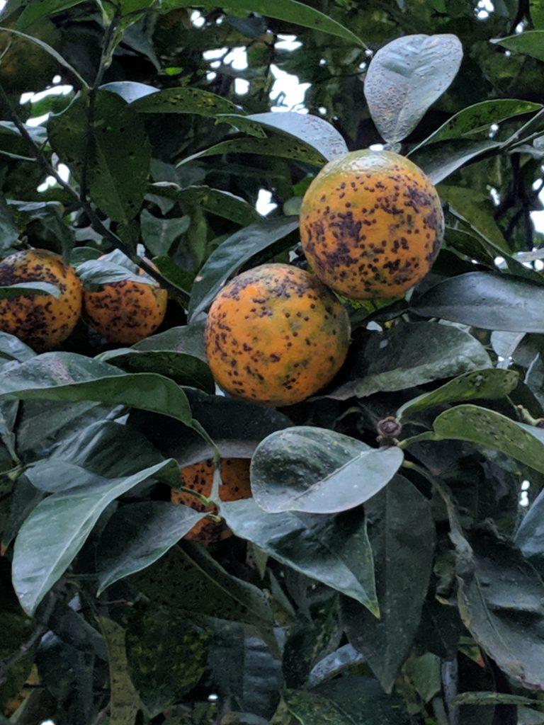 (Diseased) common oranges around the city