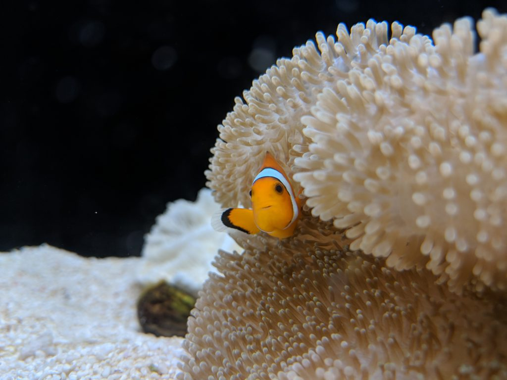 Clown fish, Osaka Aquarium, Japan